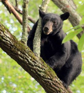 Bear in Spring Creek
