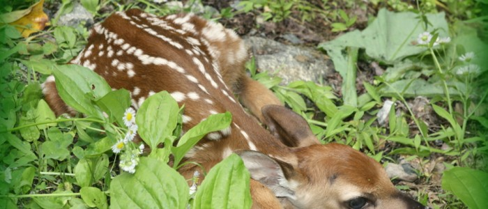 Fawn near Wilderness Lodge