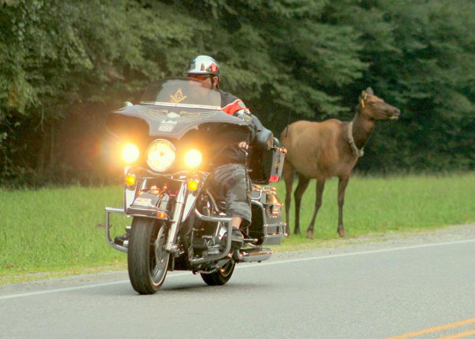Harley with elk